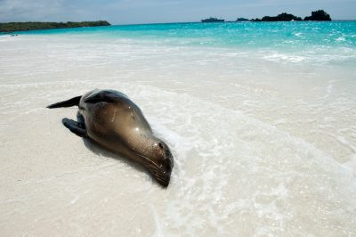 Photo: A Galapagos sea lion (Zalophus wollebaeki) relaxes in the surf on Espanola Island in Galapagos National Park.