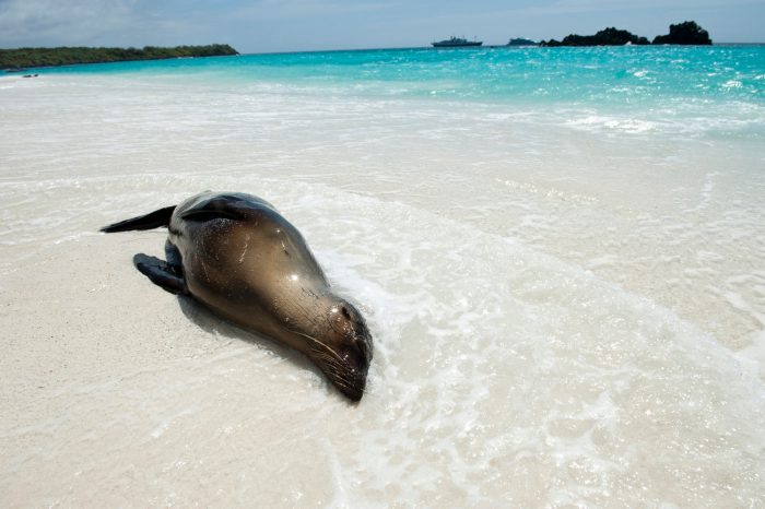Photo: A Galapagos sea lion (Zalophus wollebaeki) relaxes in the surf on Espanola Island in Galapagos National Park.