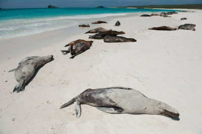 Photo: Galapagos sea lions (Zalophus wollebaeki) on Espanola Island in Galapagos National Park.