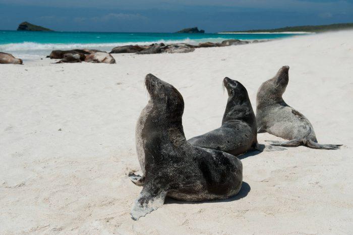 Photo: Galapagos sea lions (Zalophus wollebaeki) soak up the sun on Espanola Island in Galapagos National Park.