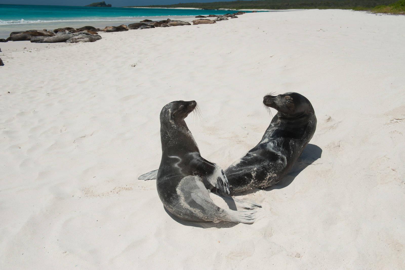Photo: Galapagos sea lions (Zalophus wollebaeki) on Espanola Island in Galapagos National Park.