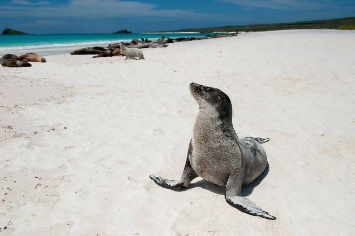 Photo: A Galapagos sea lion (Zalophus wollebaeki) on Espanola Island in Galapagos National Park.