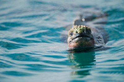 Photo: A marine iguana (Amblyrhynchus cristatus) swims in the water along Espanola Island in Galapagos National Park.