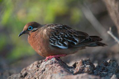 Photo: A Galapagos dove (Zenaida galapagoensis) on Espanola Island in Galapagos National Park.