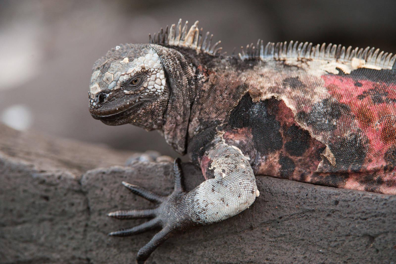 Photo: A marine iguana (Amblyrhynchus cristatus) on Espanola Island in Galapagos National Park.