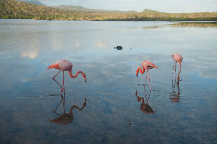 Picture of American flamingos (Phoenicopterus ruber), in the Floreana Island in Galapagos National Park.