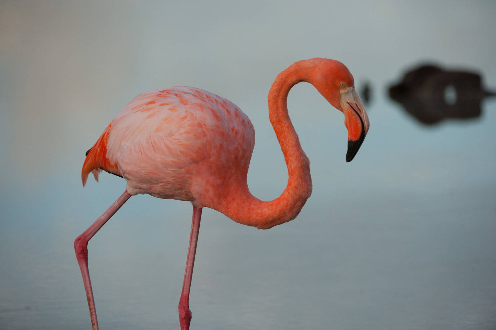 Picture of an American flamingo (Phoenicopterus ruber), in the Floreana Island in Galapagos National Park.