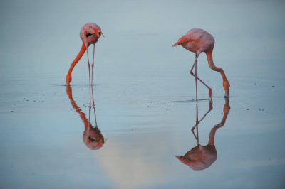 Picture of two American flamingos (Phoenicopterus ruber), in the Floreana Island in Galapagos National Park.