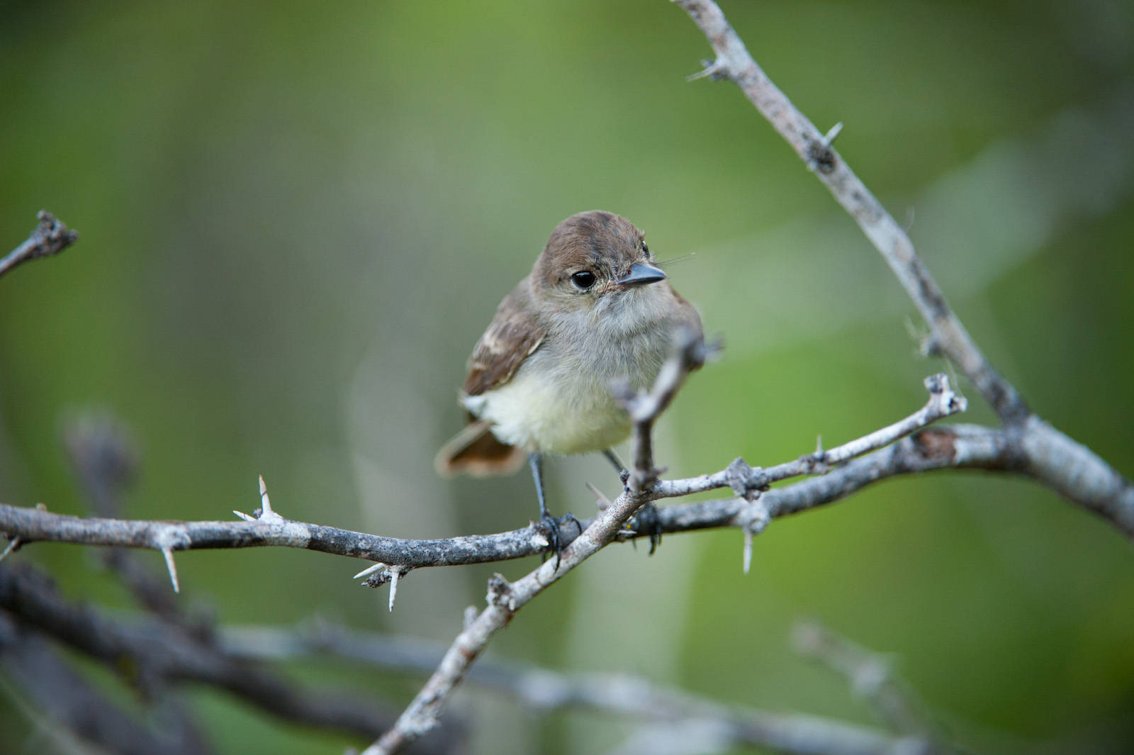 Photo: A Galapagos flycatcher, also known as the Large-billed flycatcher, (Myiarchus magnirostris) on Floreana Island in Galapagos National Park.