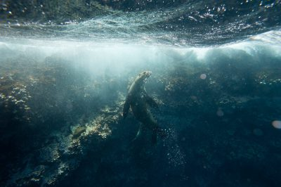 Photo: A Galapagos sea lion (Zalophus wollebaeki) swims along Floreana Island in Galapagos National Park.