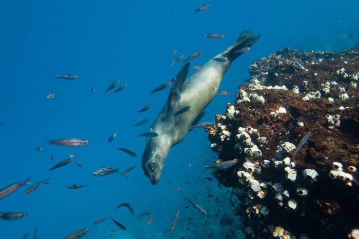 Photo: A Galapagos sea lion (Zalophus wollebaeki) swims along Floreana Island in Galapagos National Park.