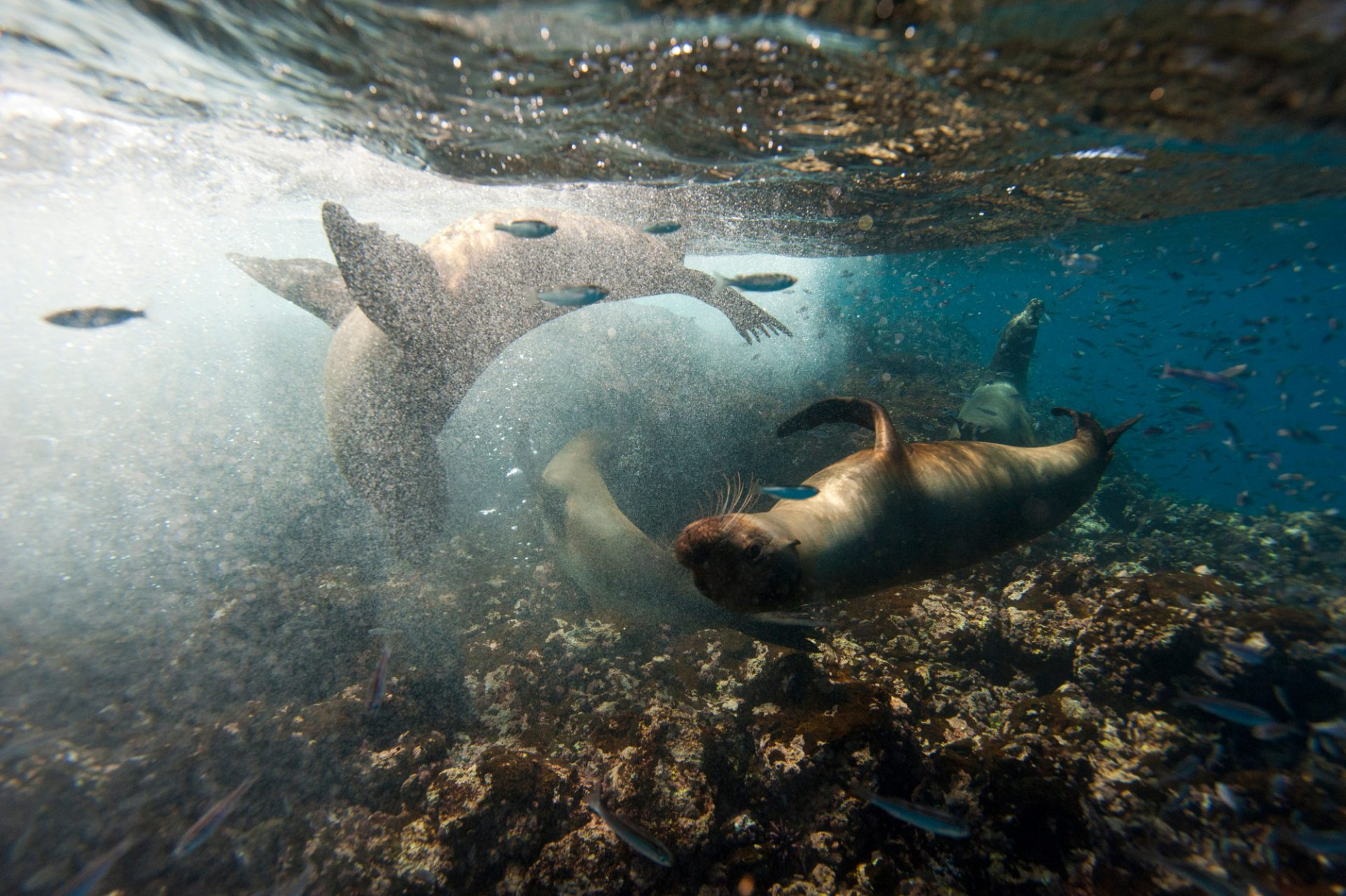 Photo: Galapagos sea lions (Zalophus wollebaeki) swim along Floreana Island in Galapagos National Park.