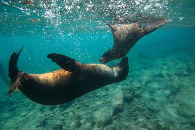 Photo: Galapagos sea lions (Zalophus wollebaeki) swim along Floreana Island in Galapagos National Park.