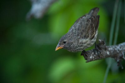 Photo: A female common cactus finch (Geospiza scandens) on Floreana Island in Galapagos National Park.