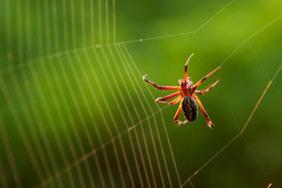 Photo: A zig-zag spider (Neoscona cooksoni) on Floreana Island, in Galapagos National Park.