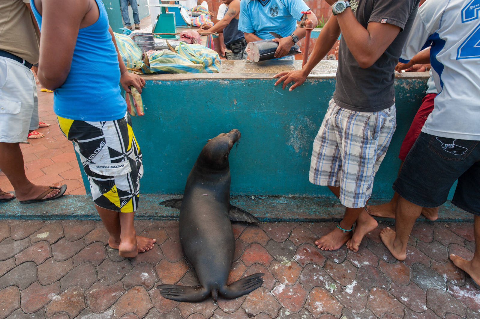 Photo: A tame Galapagos sea lion (Zalophus wollebaeki) beg for fish scraps at a fish market in the town of Puerto Ayora, on Santa Cruz Island.