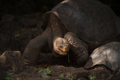 Photo: Lonesome George, the very last of the Pinta Island tortoises (Chelonoidis nigra abingdoni) on Santa Cruz Island, on the edge of Galapagos National Park.