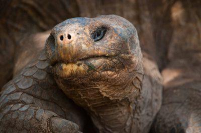 Photo: Lonesome George, the very last of the Pinta Island tortoises (Chelonoidis nigra abingdoni) on Santa Cruz Island, on the edge of Galapagos National Park.