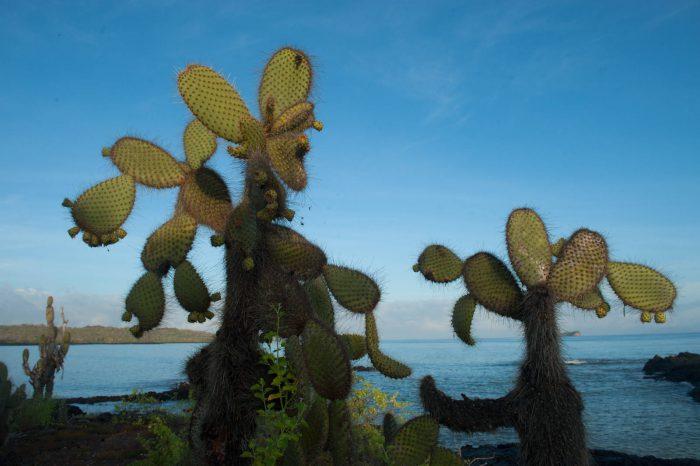 Photo: A prickly pear cactus (Opuntia echios var. echios) on Santa Cruz Island, Galapagos National Park.