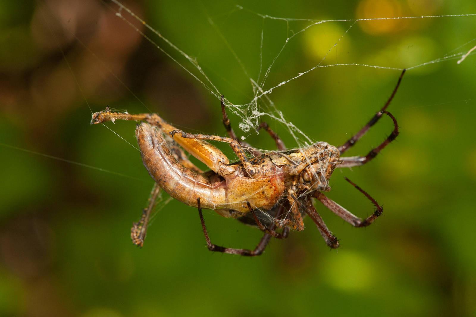 Photo: A zig-zag spider (Neoscona cooksoni) preys on a juvenile painted locust (Schistocerca melanocera) on Santa Cruz Island.