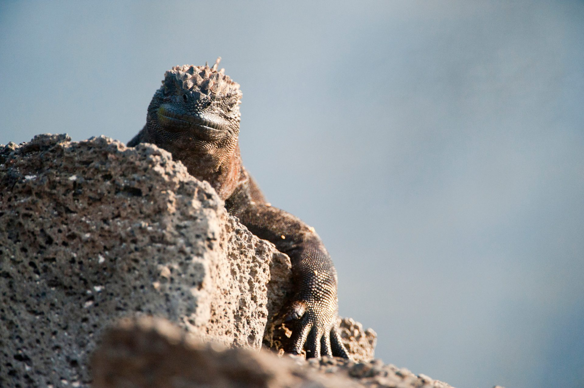 Photo: A marine iguana (Amblyrhynchus cristatus) on Santa Cruz Island, Galapagos National Park.