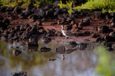 Picture of a whimbrel (Numenius phaeopus) on Santa Cruz Island, Galapagos National Park.