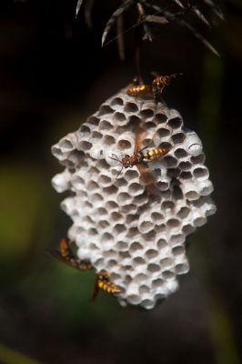 Photo: The nest of the paper wasp (Polistes Latreille), an introduced/non-native species on Santa Cruz Island, Galapagos National Park.