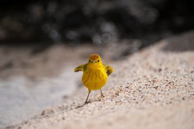 Photo: A male yellow warbler (Dendroica petechia) on Santa Cruz Island, Galapagos National Park.
