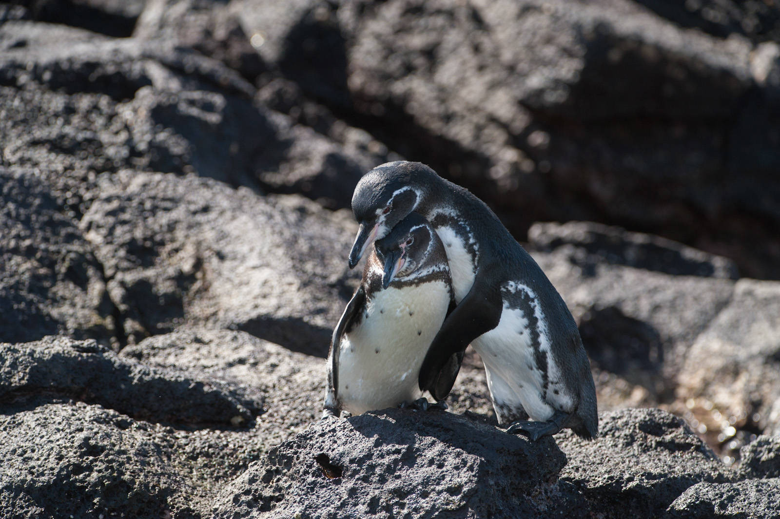 Photo: Galapagos penguins (Spheniscus mendiculus), on Bartholomew Island, part of Galapagos National Park.