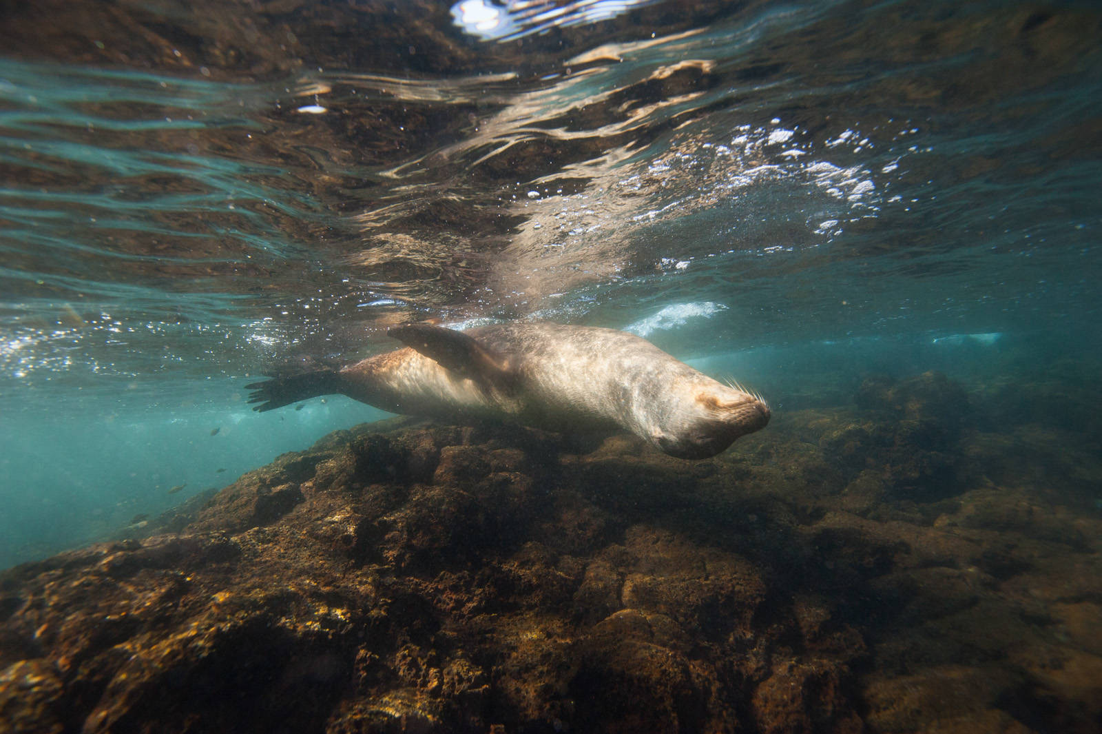 Photo: A Galapagos sea lion(Zalophus wollebaeki) sleeps beneath the surface, near Bartholomew Island, Galapagos National Park.