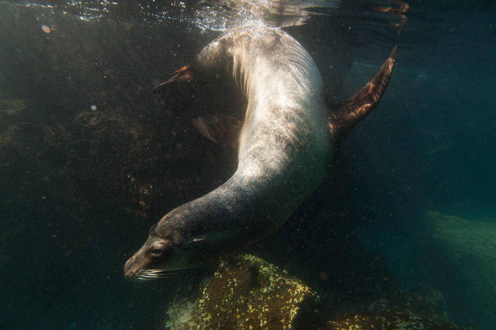 Photo: A Galapagos sea lion (Zalophus wollebaeki) in Galapagos National Park.