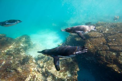 Photo: Galapagos Penguins (Spheniscus mendiculus) swim in Galapagos National Park.