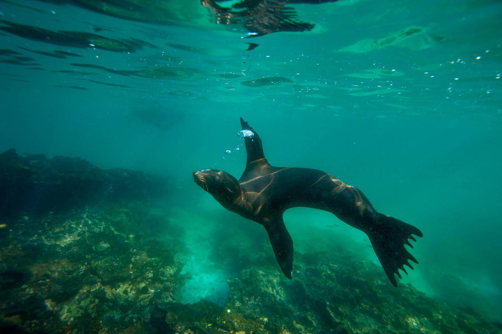 Photo: A Galapagos sea lion (Zalophus wollebaeki) in Galapagos National Park.