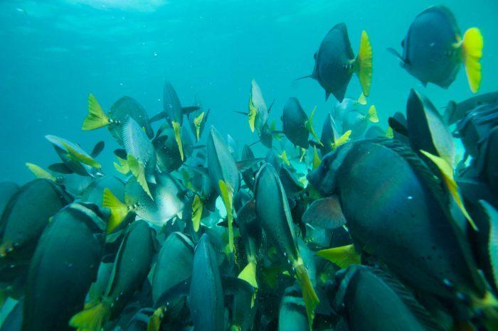 Photo: Razor surgeonfish (Prionurus laticlavius) in Galapagos National Park.
