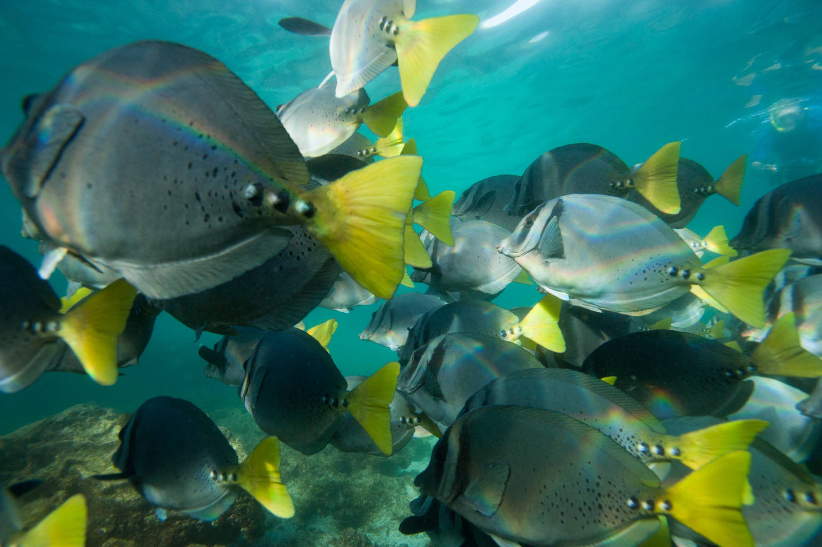 Photo: Razor surgeonfish (Prionurus laticlavius) in Galapagos National Park.