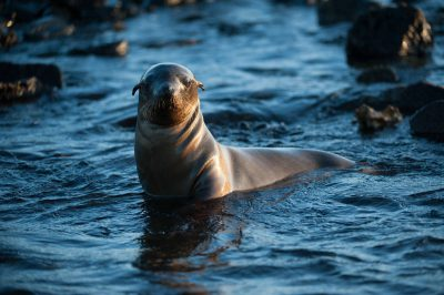 Photo: Galapagos sea lions along the shore of Chinese Hat Island in Galapagos National Park.