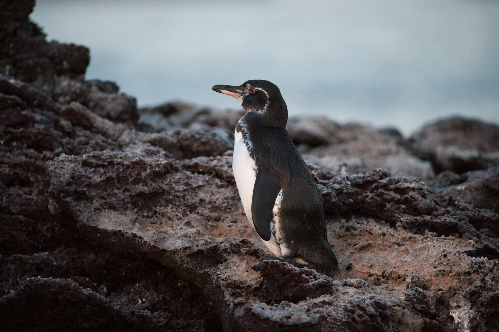 Photo: Galapagos Penguins (Spheniscus mendiculus) along the shore of Chinese Hat Island in Galapagos National Park.