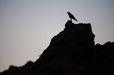 Photo: Galapagos hawk (Buteo galapagoensis) at sunset in Galapagos National Park.