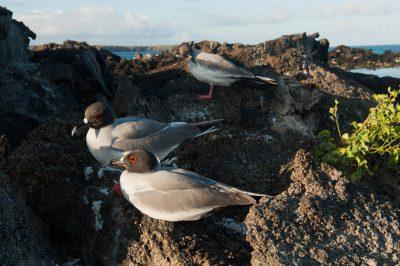 Photo: Swallow-tailed gulls (Creagrus furcatus), on Tower Island in Galapagos National Park.