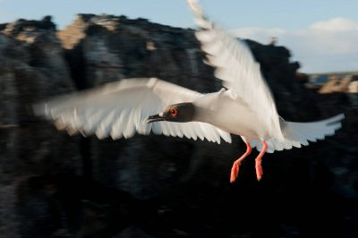 Photo: A swallow-tailed gull (Creagrus furcatus) takes flight, on Tower Island in Galapagos National Park.