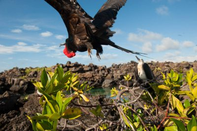 Photo: Great frigatebirds (Fregata minor) in flight on Tower Island in Galapagos National Park.