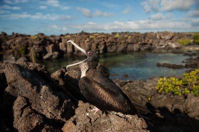 Photo: A female great frigatebirds (Fregata minor) on Tower Island in Galapagos National Park.