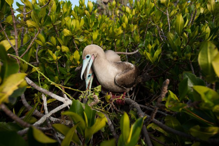 Photo: A mated pair of red-footed boobies (Sula sula) on Tower Island, as they tend to their nest.