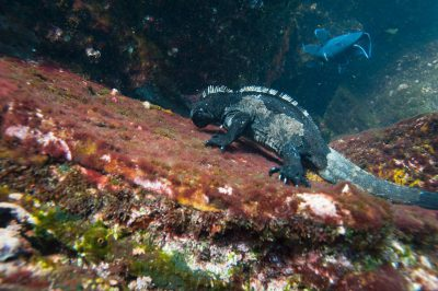 Photo: A marine iguana (Amblyrhynchus cristatus) eating algae under the surface along Tower Island in Galapagos National Park.