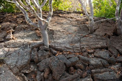 Photo: Trees growing out of volcanic rock on Tower Island in Galapagos National Park.