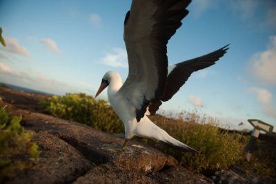Photo: A Nazca booby (Sula granti) on Tower Island in Galapagos National Park.