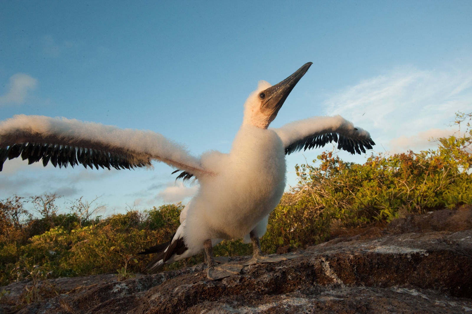 Photo: A Nazca booby chick (Sula granti) on Tower Island in Galapagos National Park.