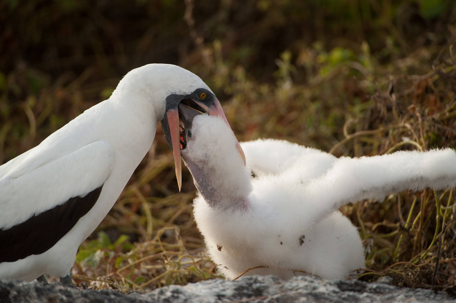 Photo: A Nazca booby (Sula granti) as it feeds its chick on Tower Island in Galapagos National Park.