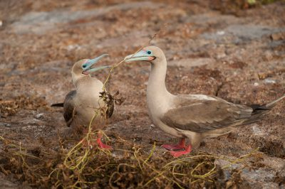 Photo: Red-footed boobies (Sula sula) as they pick through vegetation for nesting on Tower Island in Galapagos National Park.