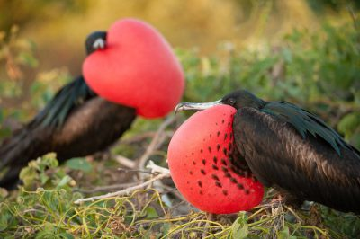 Photo: Two male great frigatebirds (Fregata minor) as they display their giant red neck sacks in hope of attracting a female, on Tower Island in Galapagos National Park.